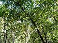 Butter tree (3098016830).jpg