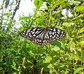 Butterfly irv4.jpg
