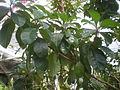 Byrsonima crassifolia 1c.JPG