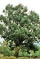 Cáceres, árboles 1975 08.jpg