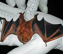 The image depicts a eastern red bat, recently captured by a researcher