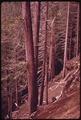 CEDAR TREES SUFFOCATING BECAUSE OF HILLSIDE EROSION IN OLYMPIC NATIONAL TIMBERLAND, WASHINGTON. NEAR OLYMPIC NATIONAL... - NARA - 555201.tif