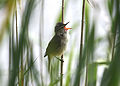CSIRO ScienceImage 3091 Clamorous ReedWarbler.jpg