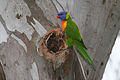 CSIRO ScienceImage 3558 Rainbow Lorikeet.jpg