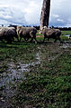CSIRO ScienceImage 545 Muddy sheep in a paddock.jpg