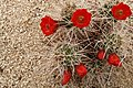 Cactus Flowers in Joshua Tree National Park (3433769194).jpg