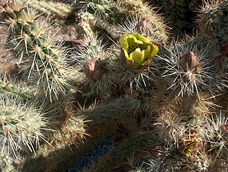 Anza-Borrego Desert State Park - Cactus in bloom