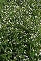 Calamintha nepetoides White Cloud 4zz.jpg