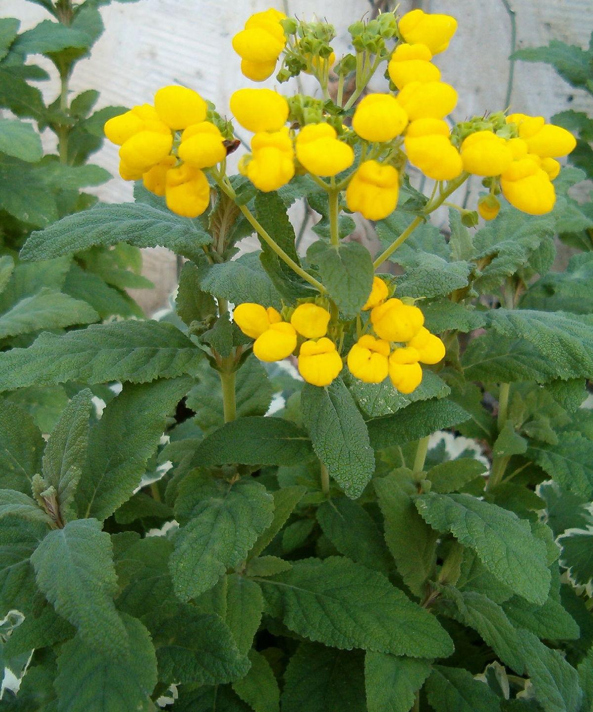 Bush Yellow Flowers In Spring