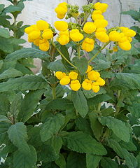 Calceolaria integrifolia Hybrid Germany1005