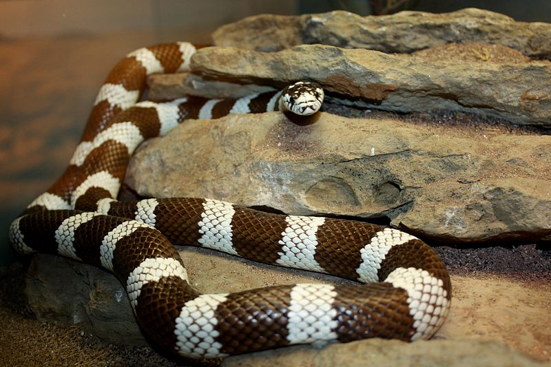 File:CaliforniaKingsnake1.jpg
