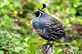 California Quail mail in Golden Gate Park