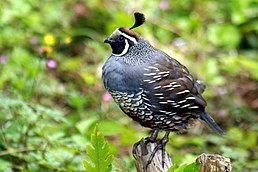 California Quail mail in Golden Gate Park.JPG