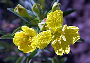 Calylophus serrulatus - Image: Calylophus serrulatus 1