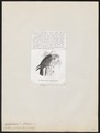 Calyptorhynchus galeatus - 1872 - Print - Iconographia Zoologica - Special Collections University of Amsterdam - UBA01 IZ18600031.tif