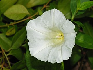<i>Calystegia sepium</i> Species of flowering plant in the family Convolvulaceae