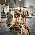 Camel beauty 2.jpg