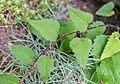 Campanula trachelium in La Jaysinia (2).jpg