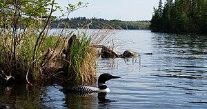 Southern Manitoba - Loon seen at Falcon Lake, Whiteshell Provincial Park, Southern Manitoba