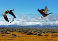 Canadian Geese in Spring (5564680431).jpg