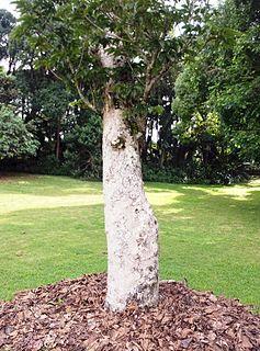 <i>Canarium paniculatum</i> species of plant