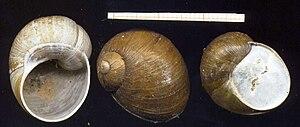 Helix aperta - shells of Helix aperta