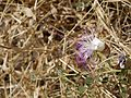 Capparis spinosa (6720203423).jpg
