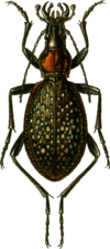 Carabus lopatini Jacobson.png