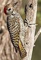 Cardinal Woodpecker - MALE, Dendropicos fuscescens at Pilanesberg National Park, Northwest Province, South Africa (15091608812).jpg