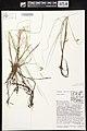 Carex limosa herbarium (05).jpg