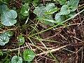 Carex pallescens plant (4).jpg