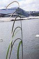Carex pendula inflorescens (35).jpg