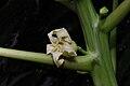 Carica papaya Flower 7770.JPG