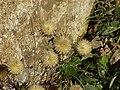 Carlina vulgaris2.jpg
