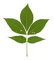 Carya ovata leaf 2.jpg
