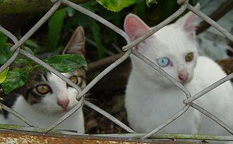 Japanese Bobtail - Normal eyed cat and heterochromic or 'odd-eyed' cat