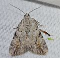 Catocala amica – Girlfriend Underwing Moth? -6 from 7-6-14 (14599893606).jpg