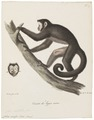 Cebus cirrifer - 1818-1842 - Print - Iconographia Zoologica - Special Collections University of Amsterdam - UBA01 IZ20200168.tif
