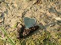 Celastrina argiolus01.jpg