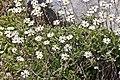 Celmisia glandulosa C. incana Hook.f. (AM AK331067).jpg