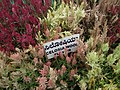 Celosia wool flower from Lalbagh flower show Aug 2013 8470.JPG