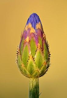 Kornblume – Wikipedia