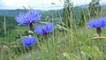Centaurea cyanus 3.jpg