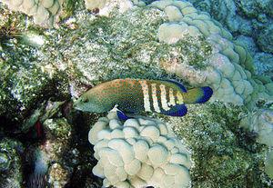 Cephalopholis argus -  Cephalopholis argus, Hawaii