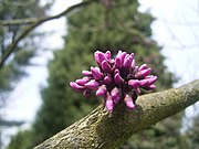 Cercis canadensis 'Forest play' 04-05-2006 14.01.06.JPG