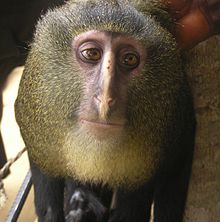http://upload.wikimedia.org/wikipedia/commons/thumb/0/0f/Cercopithecus_lomamiensis_MaleP.jpg/220px-Cercopithecus_lomamiensis_MaleP.jpg