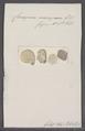 Ceriopora micropora - - Print - Iconographia Zoologica - Special Collections University of Amsterdam - UBAINV0274 093 16 0004.tif