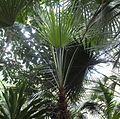 Chamaerops humilis - Frankfurt Palmengarten.jpg