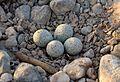 Charadrius dubius eggs.jpg
