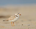 Charadrius melodus -Cape May, New Jersey, USA -adult-8 (3).jpg